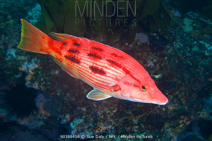 Female Red pigfish (Bodianus unimaculatus) Poor Knights Islands, New Zealand, January  -  Sue Daly/ npl