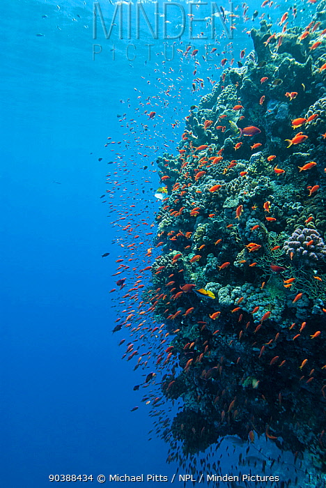 Coral wall with Anthiinae schooling fish, Red Sea  -  Michael Pitts/ npl