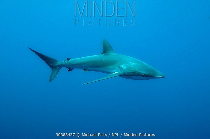 Silky shark (Carcharhinus faliformis) Darwins Arch, Galapagos  -  Michael Pitts/ npl