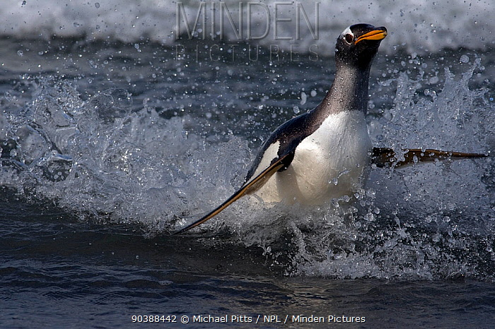Gentoo penquin (Pygoscelis papua papua) surfing into beach to avoid predation Sea Lion Island The Falklands  -  Michael Pitts/ npl