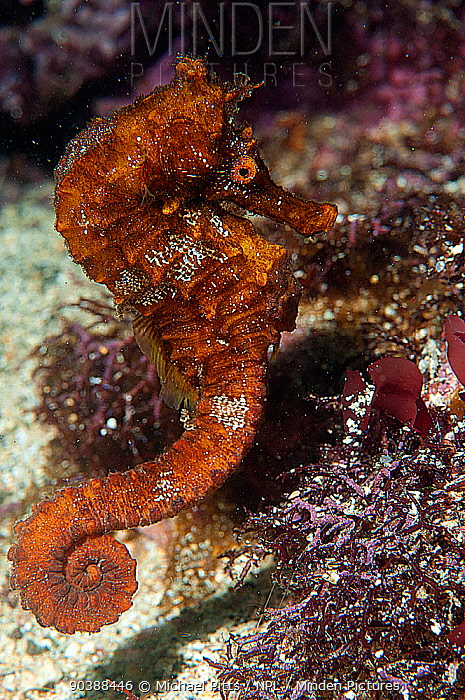 Pacific Seahorse (Hippocampus ingens) Galapagos  -  Michael Pitts/ npl