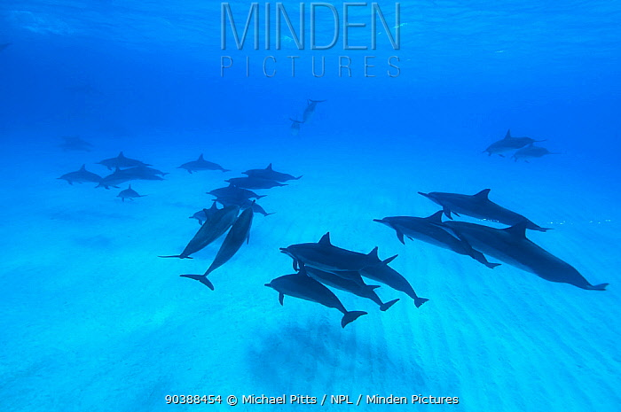 Spinner dolphins (Stenella longirostris) small pod within Midway atoll, Midway, Pacific  -  Michael Pitts/ npl