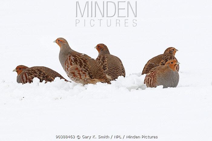 English partridge (Perdix perdix) group of five birds on snow covered field, Norfolk, England, January  -  Gary K. Smith/ npl