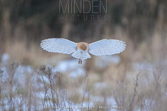 Barn owl (Tyto alba) hovering in snowy field, Wells-next- the- sea, North Norfolk, England  -  Gary K. Smith/ npl
