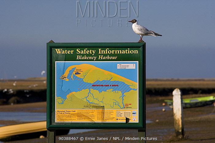 Black Headed Gull (Larus ridibundus) perched on information sign at Blakeney Harbour, Norfolk, March  -  Ernie Janes/ npl