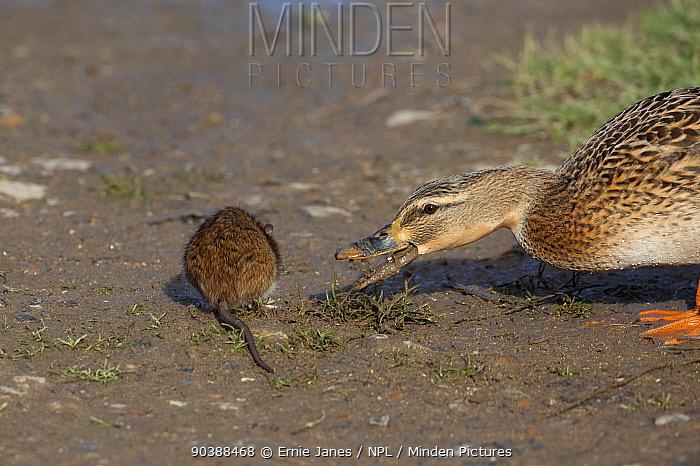 Brown Rat (Rattus norvegicus) foraging next to Mallard duck (Anas platyrhynchos) Norfolk, November  -  Ernie Janes/ npl