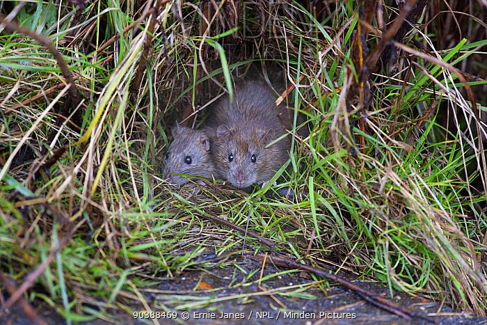 Brown Rats (Rattus norvegicus) Norfolk, November  -  Ernie Janes/ npl