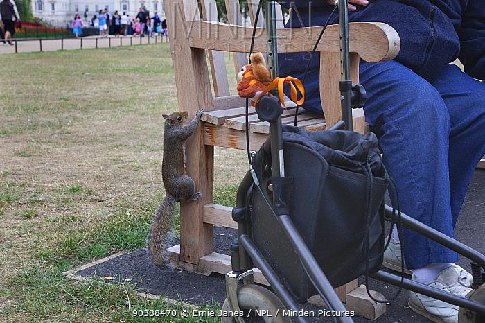 Person feeding Grey Squirrel (Sciurus carolinensis) Regents Park, London, UK, August  -  Ernie Janes/ npl