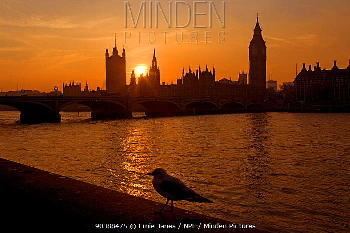 The River Thames and Houses of Parliament at Westminster at sunset with gull, UK, November 2005  -  Ernie Janes/ npl