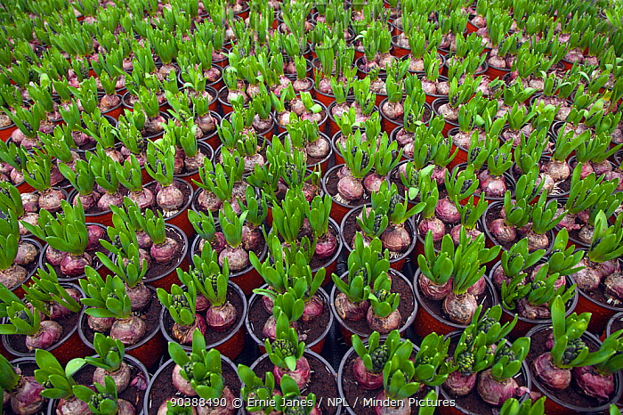Garden centre with potted Hyacinth bulbs sprouting, Edgefield, Norfolk, January  -  Ernie Janes/ npl