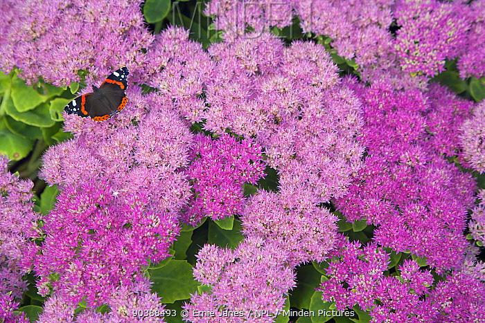 Red Admiral Butterfly (Vanessa atalanta) on ice plant (Sedum sp) Norfolk  -  Ernie Janes/ npl