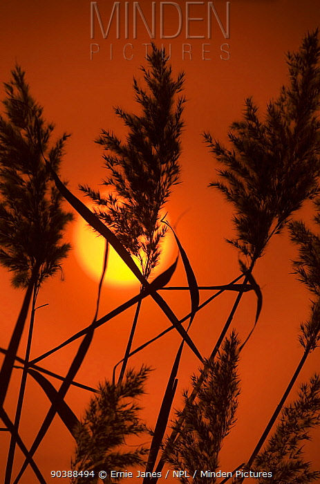 Reeds (Phragmites australis, communis) at sunset Norfolk UK  -  Ernie Janes/ npl