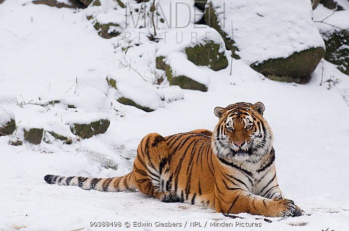 Siberian tiger (Panthera tigris altaica) lieing in snow, captive  -  Edwin Giesbers/ npl