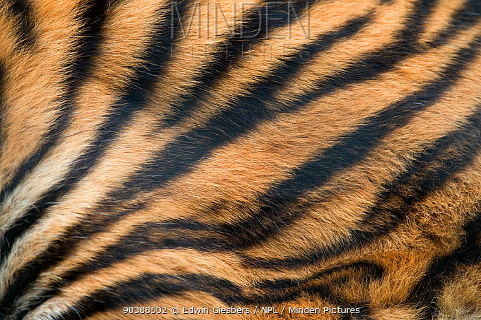 Sumatran tiger (Panthera tigris sumatrae) close up of skin patterns, captive  -  Edwin Giesbers/ npl