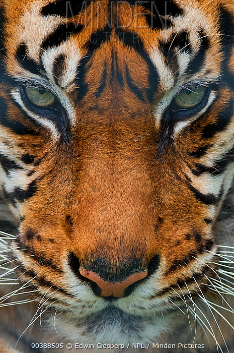 Sumatran tiger (Panthera tigris sumatrae) close-up head portrait, captive  -  Edwin Giesbers/ npl