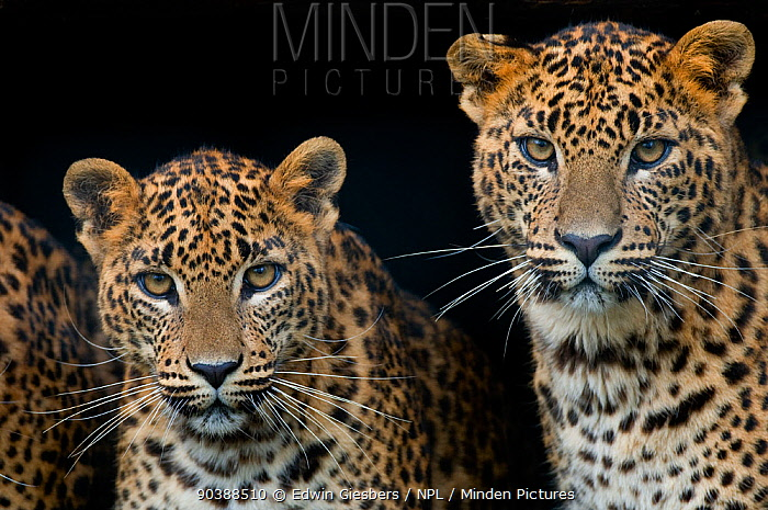 Sri Lanka leopard (Panthera pardus kotiya) two cubs looking at camera, captive  -  Edwin Giesbers/ npl