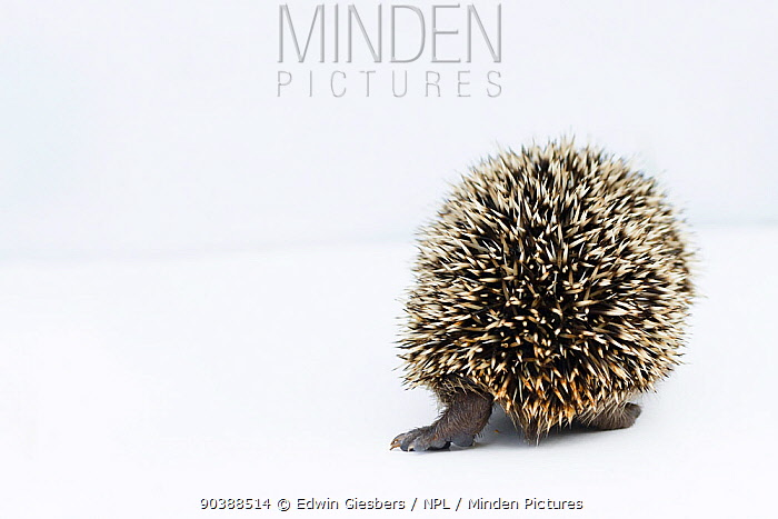Hedgehog (Erinaceus europaeus) rear view of young orphan at rescue centre, captive  -  Edwin Giesbers/ npl