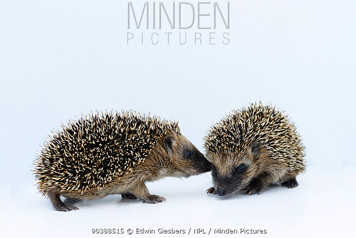 Hedgehogs (Erinaceus europaeus) young orphans sniffing one another at rescue centre, captive  -  Edwin Giesbers/ npl