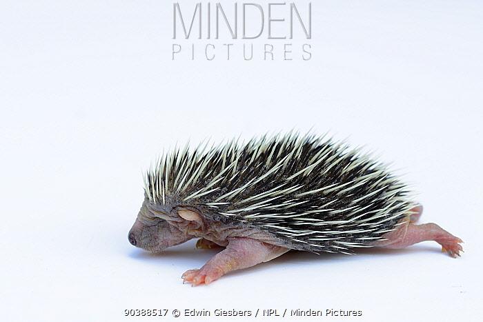Hedgehog (Erinaceus europaeus) one week old orphan at rescue centre, captive  -  Edwin Giesbers/ npl