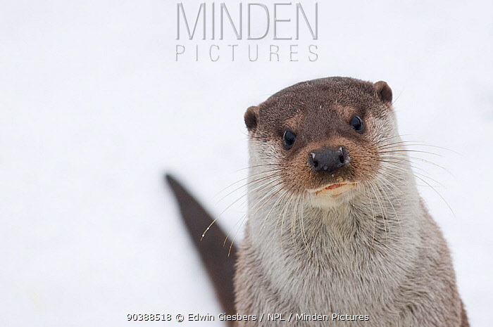 European river otter (Lutra lutra) head portrait against snow, Netherlands, captive  -  Edwin Giesbers/ npl