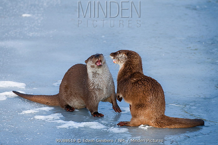 European river otters (Lutra lutra) play fighting in the snow, Netherlands, captive  -  Edwin Giesbers/ npl