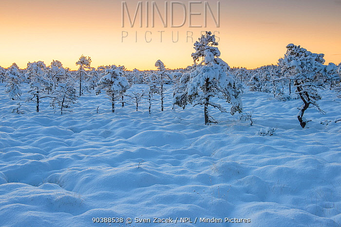 Snow-laden pine trees in bog, early morning before sunrise after a heavy snowfall in Northern Estonia in October  -  Sven Zacek/ npl