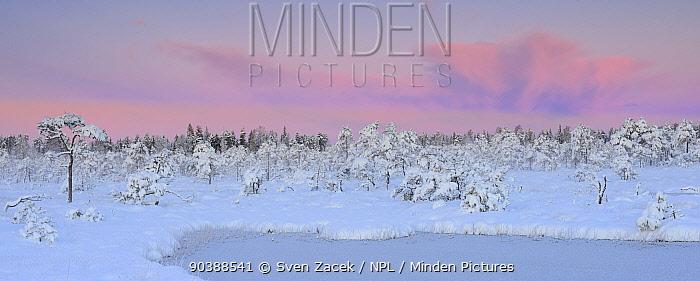 Sunrise over snowladen pines trees in bog habitat after heavy snowfall, late autumn in Northern Estonia October 2012  -  Sven Zacek/ npl