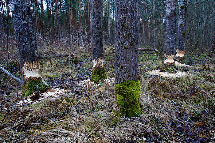 Tree trunks that have been gnawed by Beavers (Castor fiber) in preparation for winter felling, Southern Estonia, November  -  Sven Zacek/ npl