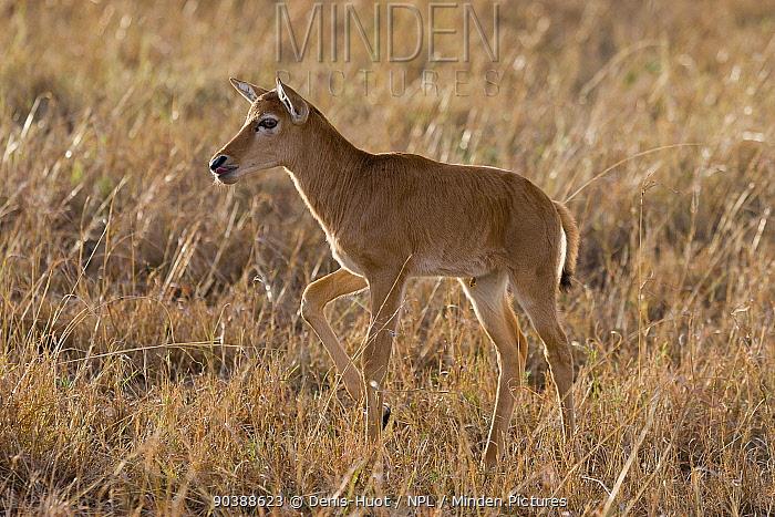 Topi (Damaliscus korrigum) calf, Masai-Mara Game Reserve, Kenya  -  Denis Huot/ npl