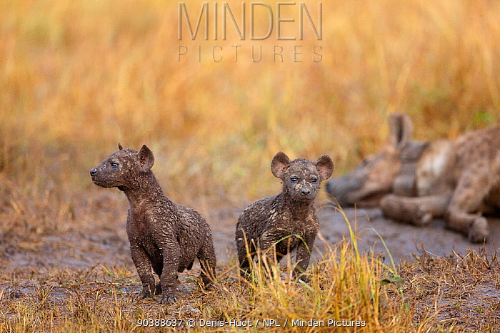 Spotted hyena (Crocuta crocuta) cub at den with mother resting in the background, Masai-Mara Game Reserve, Kenya  -  Denis Huot/ npl