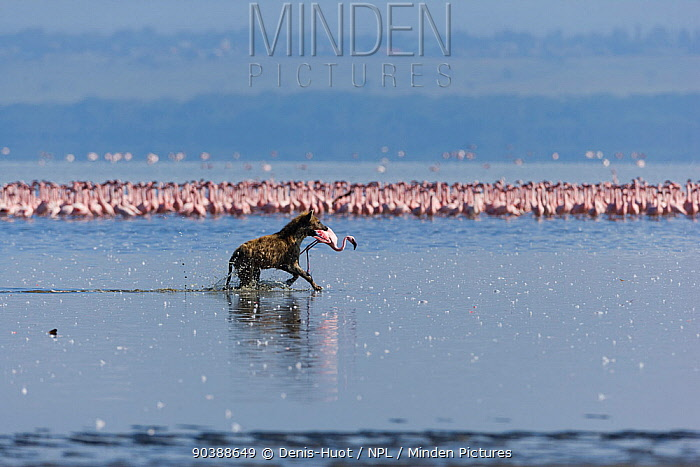 Spotted hyena (Crocuta crocuta) with Lesser flamingo (Phoenicopterus minor) it has just caught, Lake Nakuru, Kenya  -  Denis Huot/ npl