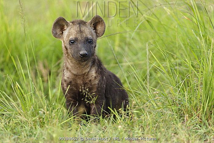 Spotted hyena (Crocuta crocuta) cub, Masai-Mara Game Reserve, Kenya  -  Denis Huot/ npl