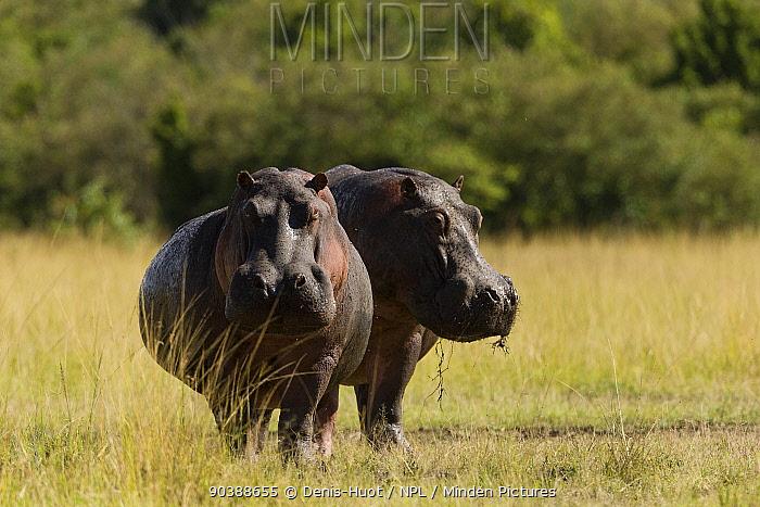 Hippo (Hippopotamus amphibius) eating during daytime during a very dry period, Masai-Mara Game Reserve, Kenya Vulnerable species  -  Denis Huot/ npl