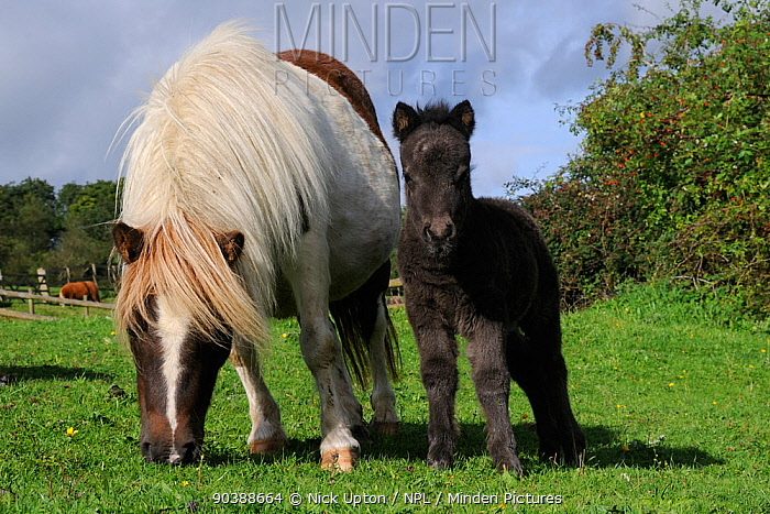American miniature horse (Equus caballus) mare grazing in a grassy paddock next to her foal, Wiltshire, UK, September  -  Nick Upton/ npl