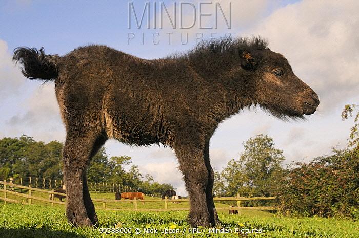 American miniature horse (Equus caballus) foal standing in a grassy hillside paddock, Wiltshire, UK, September  -  Nick Upton/ npl