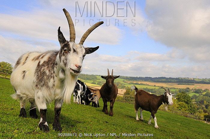 Pygmy goats (Capra hircus) on hillside grass paddock, Wiltshire, UK, September  -  Nick Upton/ npl