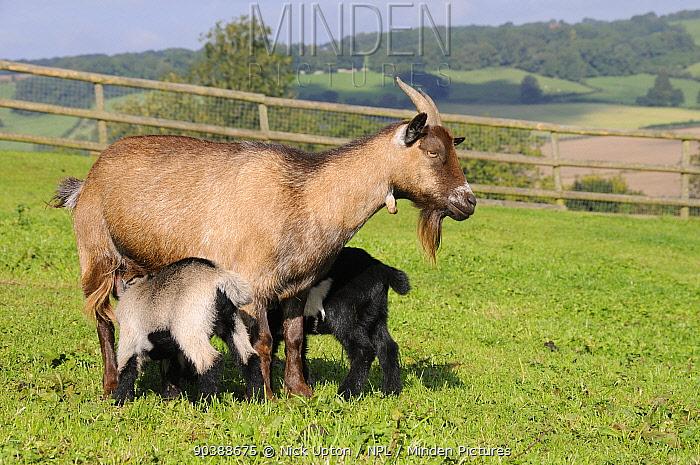Mother Pygmy goat (Capra hircus) suckling two young kids on hillside pastureland, Wiltshire, UK, September  -  Nick Upton/ npl