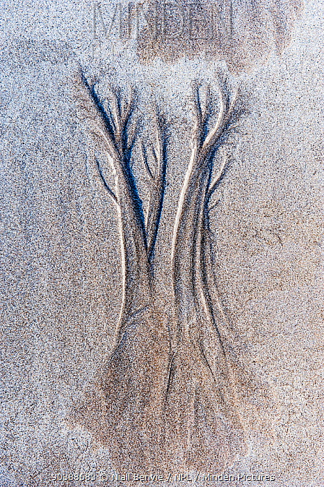 Dendritic drainage patterns eroded into sand Isle of Coll, Scotland, October 2012  -  Niall Benvie/ npl