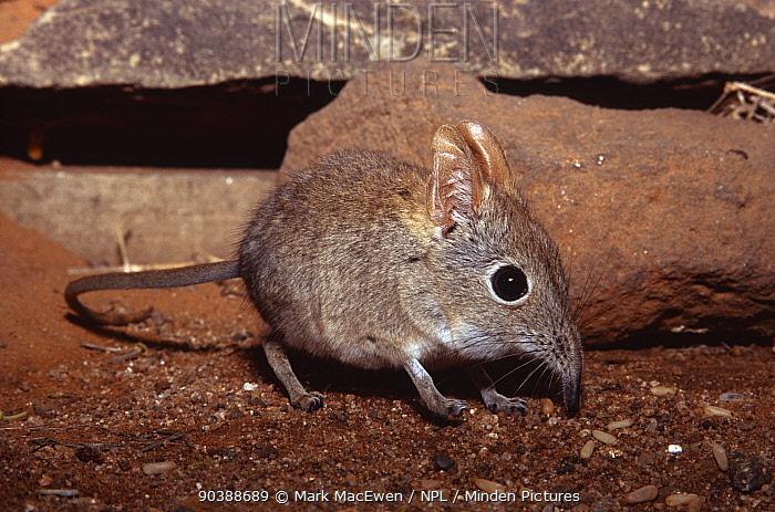 Rufous elephant shrew (Elephantulus rufescens) Botswana  -  Mark MacEwen/ npl