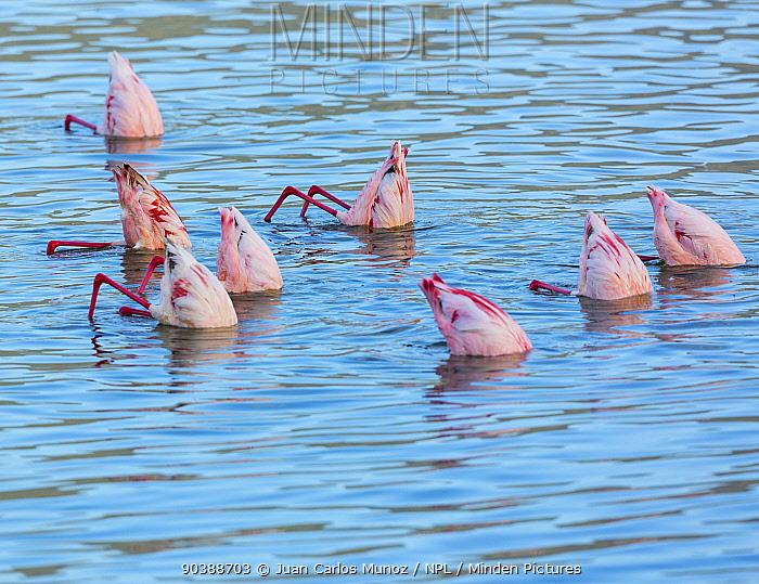 Lesser flamingos (Phoeniconaias minor) feeding in Lake Bogoria, Rift valley, Kenya  -  Juan Carlos Munoz/ npl