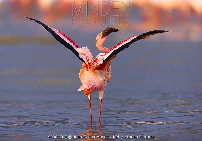 Lesser flamingos (Phoeniconaias minor) with wings spread, Lake Bogoria, Rift valley, Kenya  -  Juan Carlos Munoz/ npl