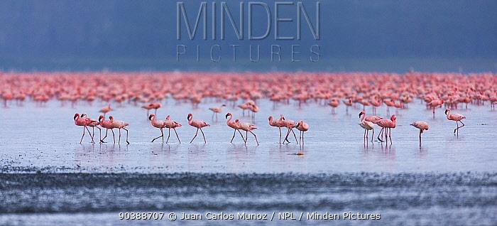 Lesser flamingo (Phoeniconaias minor) flock in lake Nakuru, Kenya  -  Juan Carlos Munoz/ npl