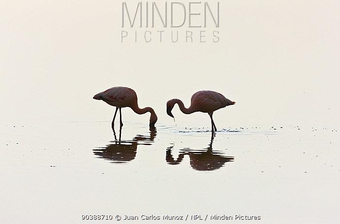 Two Lesser flamingos (Phoeiconaias minor) feeding in still lake, Lake Nakuru, Rift valley, Kenya, Africa  -  Juan Carlos Munoz/ npl