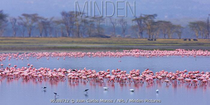 Lesser flamingo (Phoeiconaias minor) flock feeding, Lake Nakuru, Rift valley, Kenya, Africa  -  Juan Carlos Munoz/ npl