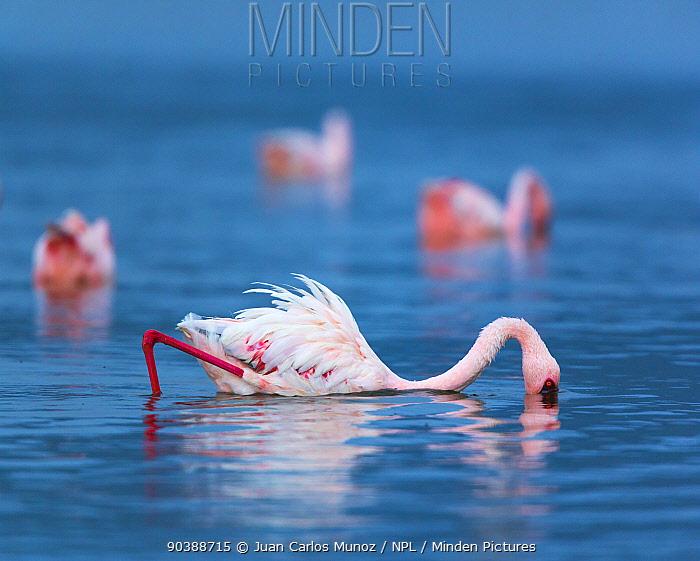 Lesser flamingo (Phoeniconaias minor) feeding, Lake Bogoria, Rift valley, Kenya, Africa  -  Juan Carlos Munoz/ npl
