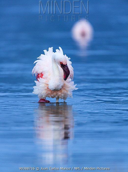 Lesser flamingo (Phoeniconaias minor) with feathers puffed up, Lake Bogoria, Rift valley, Kenya, Africa  -  Juan Carlos Munoz/ npl
