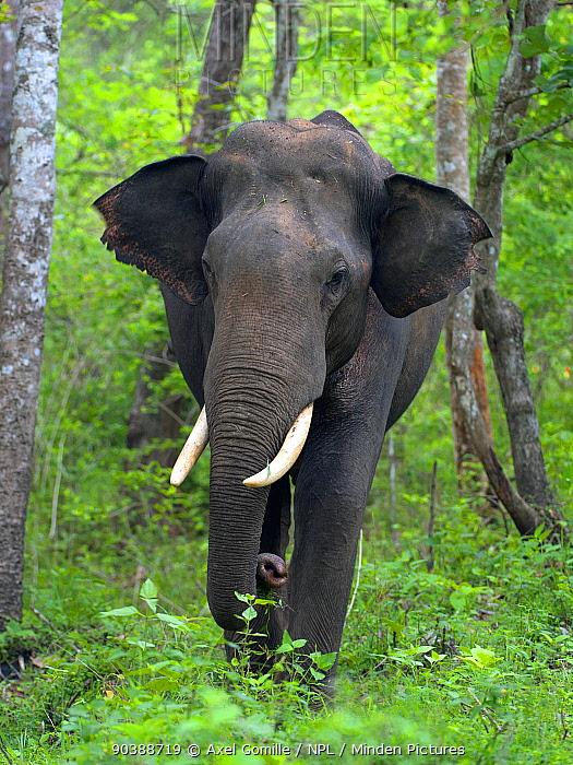 Asian Elephant (Elephas maximus) male, India  -  Axel Gomille/ npl