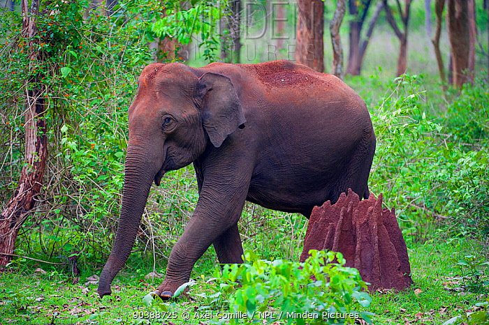 Asian Elephant (Elephas maximus) female walking past termite mound in forest, Nagarhole National Park, South India  -  Axel Gomille/ npl