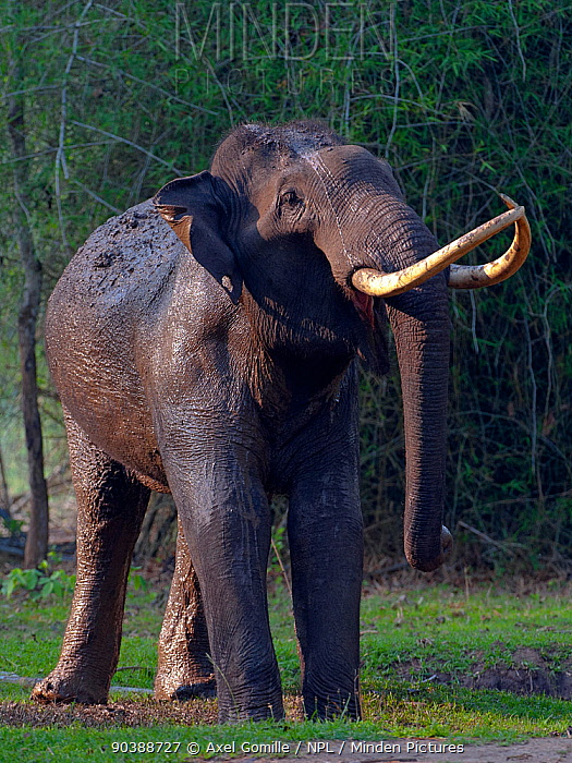 Asian Elephant (Elephas maximus) male covered in mud, Nagarhole National Park, South India  -  Axel Gomille/ npl