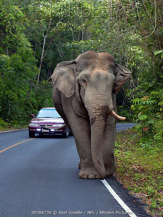 Asian Elephant (Elephas maximus) male with one tusk, blocking road, Khao Yai National Park, Thailand  -  Axel Gomille/ npl